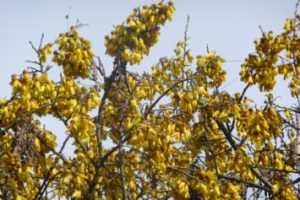 Sunrises, Spring, Kowhai and Tuis